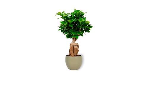Ficus Ginseng – higo chino – Bonsai planta en maceta verde – Altura +/- 25 cm incluida maceta – 12 cm de diámetro (maceta) – Fácil cuidado Bonsái Palme