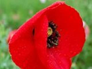 The Dirty Gardener Papaver Rhoeas Red Corn Poppy Flower Seeds - 1 Pound