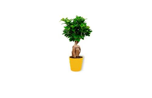 Ficus Ginseng – higo chino – Bonsái planta de interior en maceta amarilla – Altura +/- 25 cm incluida maceta – 12 cm de diámetro (maceta) – Fácil cuidado Bonsái Palme
