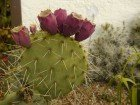 "1Pflanze Opuntia engelmannii ""Sandia Mts. Neu Mexiko""/ Feigenkaktus im 23cm Topf 25-40cm"