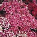Dianthus barbatus INDIAN CARPET SWEET WILLIAM Seeds!
