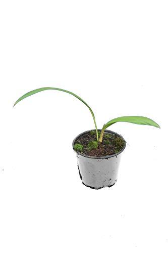 Palme - Chinesische Schirmpalme - Livistona Chinensis - verschiedene Größen (20-30cm - Topf Ø 13cm)
