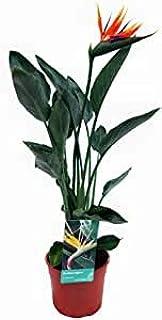 Planta de interior de Botanicly – Ave del Paraíso – Altura: 100 cm – Strelitzia Reginae