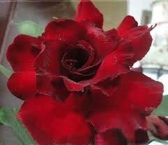 Generic Fresh 2 Stück Desert Rose Blumensamen zum Pflanzen von Pink 2