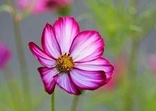 35+ Cosmos Rose Picotee Graines de fleurs/Long Lasting annuel/résistant à la sécheresse