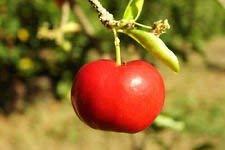 Barbados Kirsche, Malpighia emarginata Süße exotischen tropischen Fruchtsamen 15 Samen