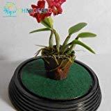 ShopMeeko SEEDS: 100 Stück Orchid Pflanzen Mini Bonsai Pflanzen Indoor Startseite Miniatur Töpfe Pflanz für Gartenpflanzen 2016 Rares Geschenk bon: