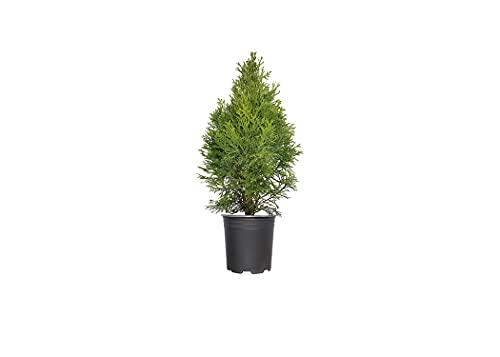 Emerald Green Arborvitae | Thuja Occidentalis Smaragd | 5 Live Trees | Evergreen Privacy Screening Hedge Plants