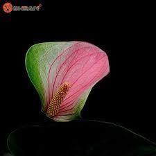 Rare Seeds Double Couleur Anthurium intérieur Graines Potted hydroponiques Fleurs Plante Anthurium Andraeanum 100 particules / sac