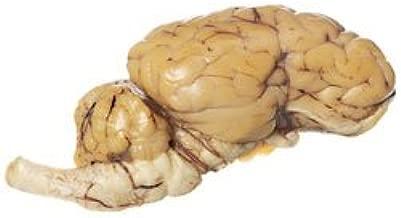 Nasco Sheep Organ - Brain Half; with Cranial Nerve Roots Lab Specimen - LS03354