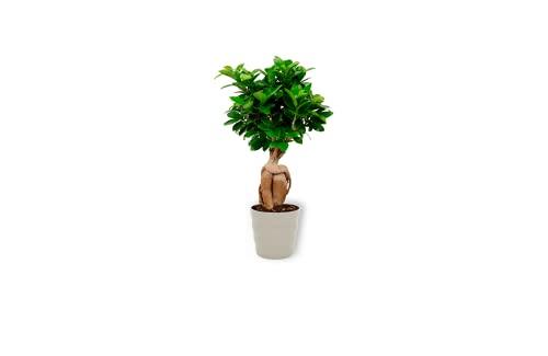 Ficus Ginseng – Figuier Bonsai – Planta de interior en maceta gris – Altura +/- 25 cm (con maceta) – Diámetro 12 cm – Planta bonsái para apartamento fácil de limpiar