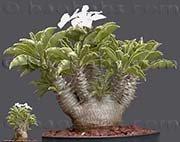 【多肉植物/種子】Pachypodium Saundersiiパキポディウム サウンデルシー☆ 白馬城 [並行輸入品]