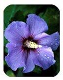 En soldes!!! Les graines d'arbres HIBISCUS rosa-sinensis fleur d'hibiscus graines de graines 10pcs Hibiscus pour les plantes en pot de fleurs