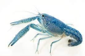 Live Blue Procambus Alleni Crayfish for Fish Tank Pond or Aquarium