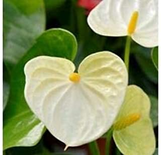 15+ White Anthurium Flower Seed/Long Blooming Indoor Houseplant - Garden Green White anthurium Seeds