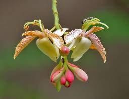 Tamarindus Indica 10/100 graines, fruits et Tamarind arbre d'ornement, des États-Unis!