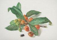 Art-Galerie Acrylglasbild Carlos Riefel - Mispelzweig mit Früchten - 47.5 x 31.7cm - Premiumqualität - Made in Germany