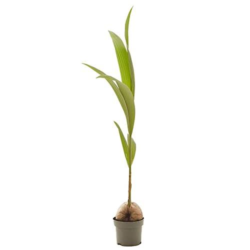 Planta Palmera Cocotera natural en maceta de Ø19cm (altura total aproximada 130cm) Verdecora