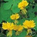 VISA STORE Tropaeolum peregrinum gelben Blüten Exotische e Samen!