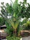 weisse Paradiesvogelblume - Strelitzia nicolai - 20 Samen