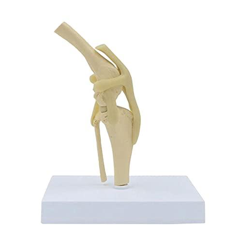 NTMD Modelo De Esqueleto De Articulación De Rodilla De Perro, Muestras De Huesos De Animales, Modelo De Rodilla De Perro con Ligamento, para Hospital De Mascotas