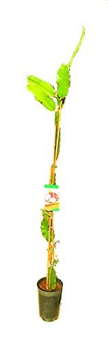 Arbol de Pitaya, Fruta del Dragón, Pitahaya Alt Aprox. 1,50m