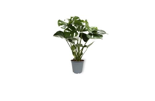 Monstera Deliciosa - Fensterblatt - Exotische Zimmerpflanze im Kulturtopf - Höhe +/- 70cm inklusive Topf - 19cm Durchmesser (Topf) - Luftreinigend Pflegeleicht