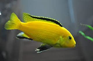 african cichlids yellow