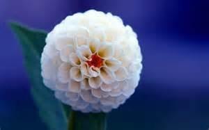 dahlia, dahlia fleur Couleurs mixtes Dahlias Semences pour le bricolage jardin livraison gratuite 10 graines / sac