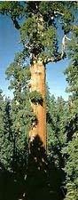 10 semillas de SEQUOIA Sequoiadendron giganteum GIGANTE