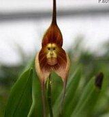 graines d'orchidées rares, belles orchidées visage de singe semences, les variétés multiples graines Bonsai 100 pcs / paquet