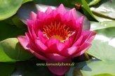 Mühlan Wasserpflanzen 1 SEEROSE der Sorte James Brydon, rote Blüte