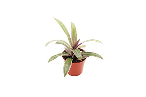 Oyster Plant Tradescantia Spathacea - 4' from California Tropicals