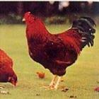 国産 秋田県産 比内地鶏 1羽 丸鶏 中抜き 約1.8-2.5kg 冷蔵品