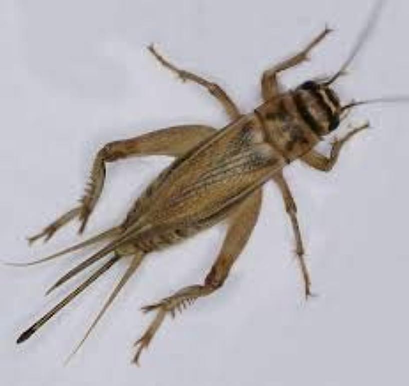 1000 Live Medium (1/2) Crickets (acheta domesticus)