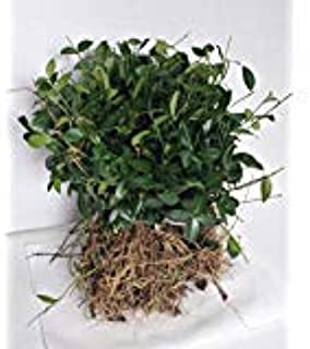 GreenwoodNursery.com Vinca Evergreen Ground Cover Plants | 50 Fast Growing Plants