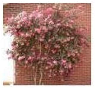 (2 Gallon) Camellia 'Crimson Candles' Fuchsia Single Blooms-Camellia Crimson Candles- Small Bright Rose-red Single Flowers, Buds Look Like red Candles and are Heavily budded, producing tons of Blooms