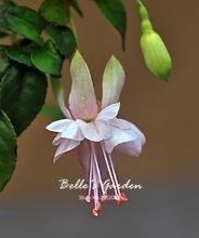 50pcs Multi-couleurs rose pétales de double Fuchsia Graines bon marché Graines Potted belle fleur Graines Bonsai Graines 02