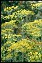 Suffolk herbes???Lot de g?n?rations???Aneth biologiques de sari???200?graines