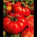 Il vous suffit de graines de tomate???Beefmaster F1?15?graines