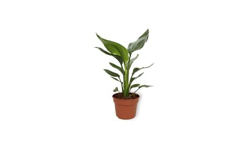 Strelitzia Reginae - Paradiesvogelblume - Luftreinigende Zimmerpflanze im Kulturtopf - Höhe +/- 30cm inklusive Topf - 12cm Durchmesser (Topf) - Pflegeleicht Kein Blumen