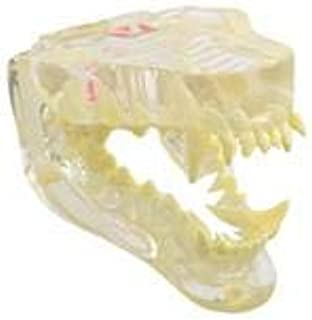 KRUUSE KRUUSE clear canine jaw model with information card