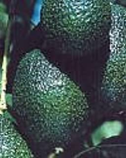 Hass and Fuerte Avocado--Year Round Fruit with our Two Tree Combo -- 12 by 12 Inch Container