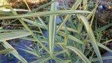 Gestreiftes Teichrohr Filterpflanze Teichpflanze Teichpflanzen Schwimmteich