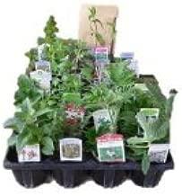 H&Aハーブショップ ローマンカモマイル 香りの芝生用 ハーブ苗12ポット