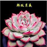 30pcs! graines rares Lithops Pseudotruncatella facile à cultiver des fleurs Succulent pour la maison et le jardin des plantes en pot décoration T