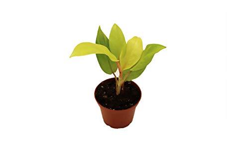 Philodendron Lemon Lime 2