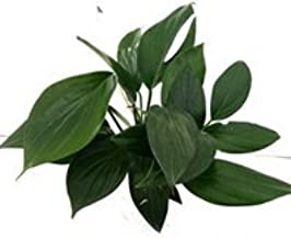 CAPPL Nice Money Plant King Green Color Plant (Pot Included) with Fertilizer & Plate Free