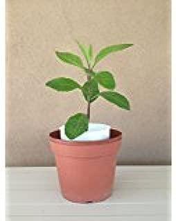 9EzTropical - Longevity Spinach - Sabuñgai - Gynura procumbens - 1 Plant in ONE 3