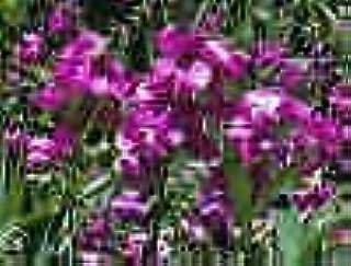 Best lathyrus latifolius perennial sweet pea Reviews